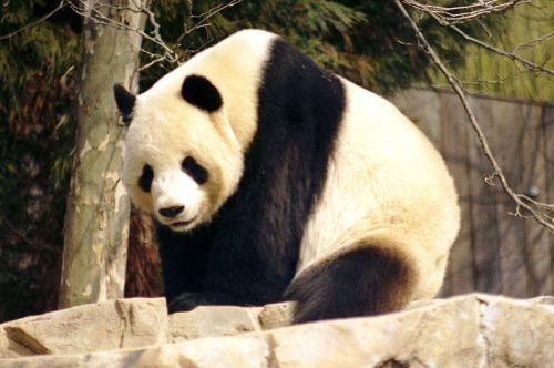 panda-gigante